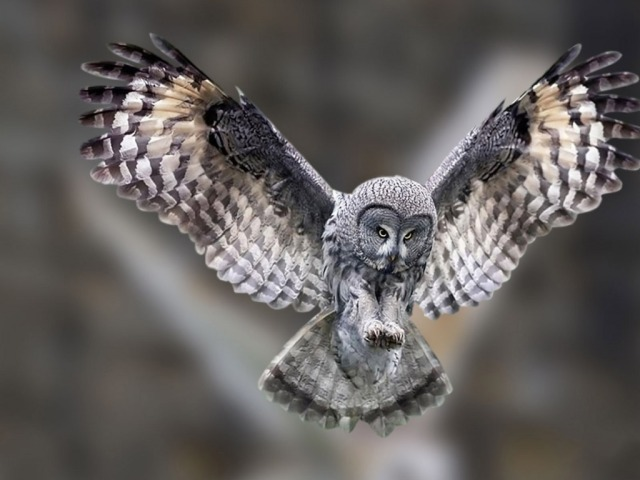 Flying-Owl-Wallpaper